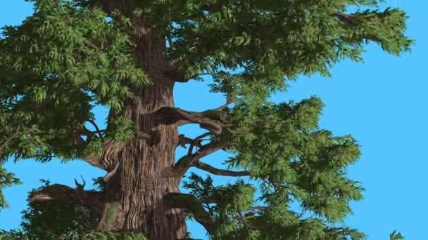 Západní jalovcem listy jsou vlající Breeze strom je Swaying na silný vítr Green Needle-Like Scale-Like listy větrný den léto