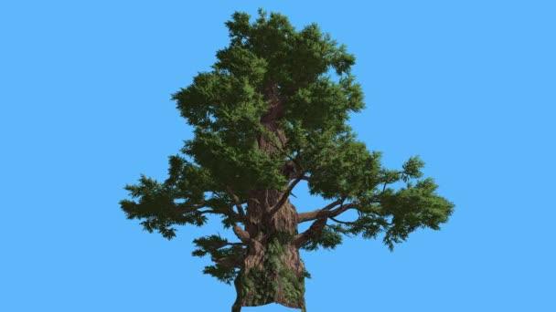 Západní jalovec vysoký starý strom sluneční paprsky strom je Swaying na Needle-Like Zelený vítr a Scale-Like listy stromu v větrný den