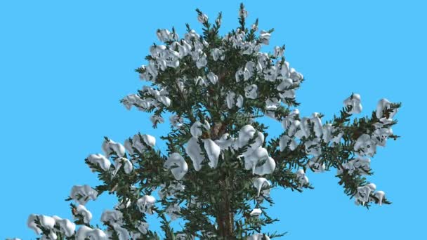 White Fir Top of Tree Covered With Snow Coniferous Evergreen Tree is Swaying at the Wind Green Needle-Like Leaves Abies Concolor Tree in Windy Day