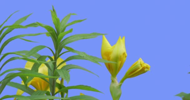 Yellow Irises Wild Flowers Buds on a Blue Screen Flowers Grow on a Flowerbed Green Leaves Plants Inflorescences Are in the Shape of a Fan Are Swaying