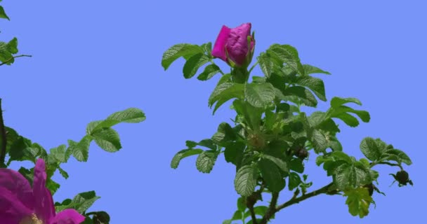 Faded Violet Flower of Blooming Rose Bush Green Oval Leaves Bush is Swaying at the Wind Leaves and Petals Are Fluttering at the Breeze Spring Summer Day