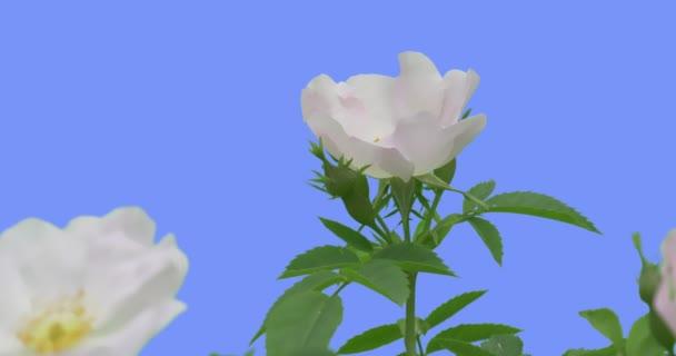 Třepotací se bílé květinové poupata kvetoucí růže Bush žlutá tyčinka ve středu květů Green oválný listí Bush se houpá na větrném jaře v létě