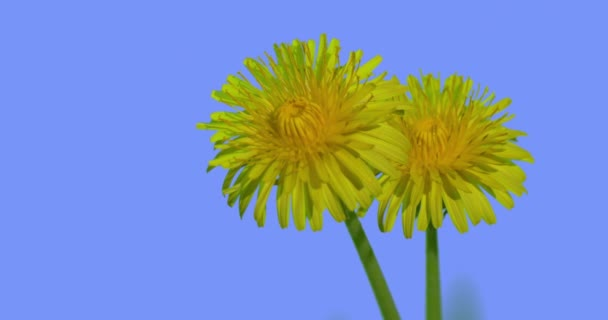 Two Dandelions Bright Yellow Flowers Field Grass Wild Flowers on Blue Screen Sunny Summer Day Green Grass Blades Are Swaying at the Wind Taraxacum