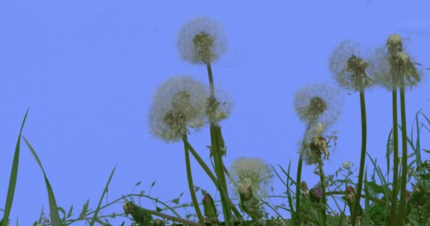 Blowballs Dandelions Wind Blows Away the Seeds Field Grass Capsella Wild Flowers on Blue Screen Sunny Summer Day Green Grass Blades Are Swaying at the Wind