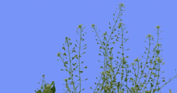 Capsella Field Grass Wild Flowers on Blue Screen Biennial Herbaceous Plants White Flowers Small Leaves Sunny Summer Day Green Grass Swaying at the Wind