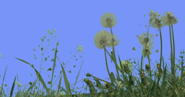 Blowballs Dandelions Field Grass Capsella Wild Flowers on Blue Screen Sunny Summer Day Green Grass Blades Are Swaying at the Wind Taraxacum Herbs