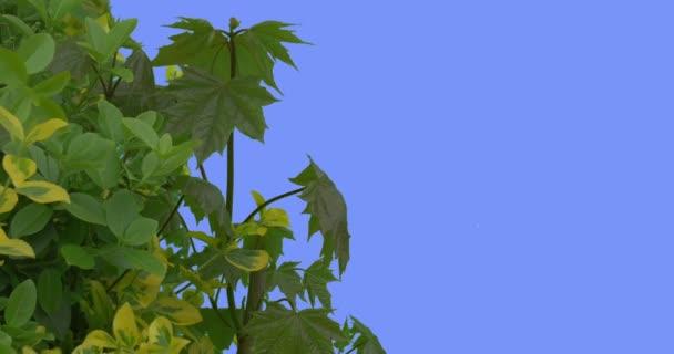 Opadavé stromy a keře mladých javor větev zelené a žluté čerstvé listy jsou vlající ve větru závodě na modré obrazovce větrný den jarní slunečné