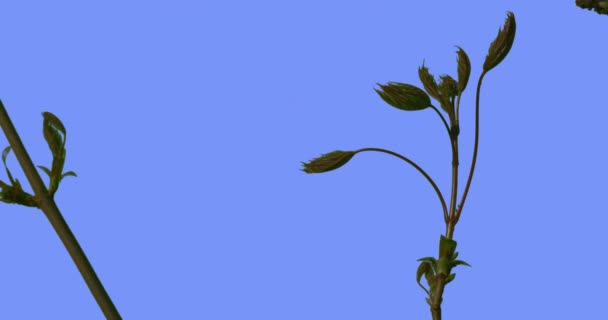 Few Branches Young Leaves of Field Grass Wild Flowers on Blue Screen Stalks With Buds Sunny Summer Day Green Grass Blades Are Swaying at the Wind