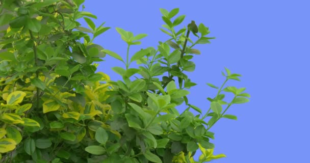 Green and Yellow Deciduous Trees and Shrubs Young Branchs Grows Fresh Leaves Are Fluttering at the Wind Plant on Blue Screen Windy Day Springtime Sunny