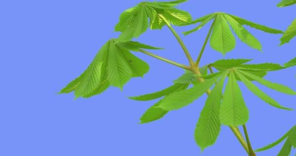 Kaštan stonku listy zelené Castanea čerstvé listy jsou vlající ve větru závodě na jarní keře opadavé stromy větrný den modrá obrazovka