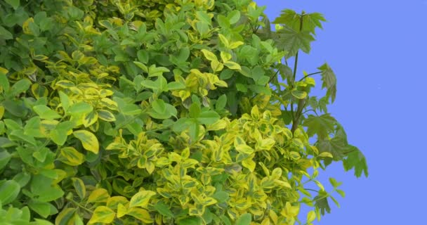 Zelené a žluté opadavé stromy a keře mladých javor větev čerstvé listy jsou vlající ve větru závodě na modré obrazovce větrný den jarní slunečné