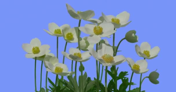 Water Crowfoots White Wild Flowers on Blue Screen Yellow Middles Sunny Summer Day Field Grass Green Leaves Grass Blades Are Swaying at the Wind Ranunculus