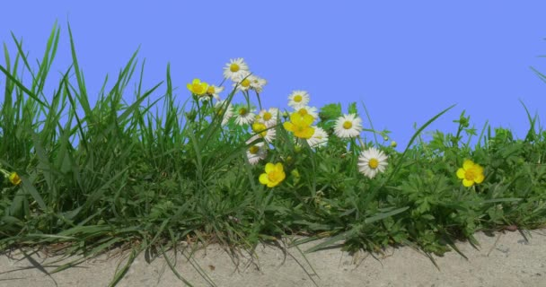 Hand Shadow Upon Buttercups Chamomiles Field Grass Wild Flowers on Blue Screen Sunny Summer Day Green Grass Blades White and Yellow Flowers Are Swaying
