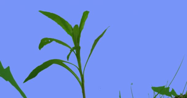 Single Stalk of Field Grass Narrow Long Leaves Plants on a Lawn or Flowered on Blue Screen Sunny Summer Day Green Grass Blades Are Swaying at the Wind