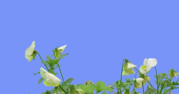 Viola blanca y amarilla flor Tricolor hojas de color verde hierba en ...