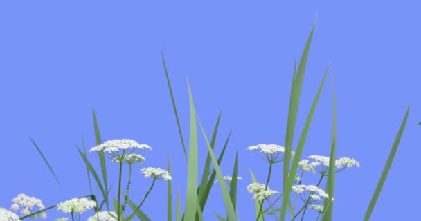 Miříkovité rostliny tráva modrá obrazovka zelené listy trávy rostliny suché stonky se kýval na vítr bílé Umbelliferae slunečného letního nebo jarní den