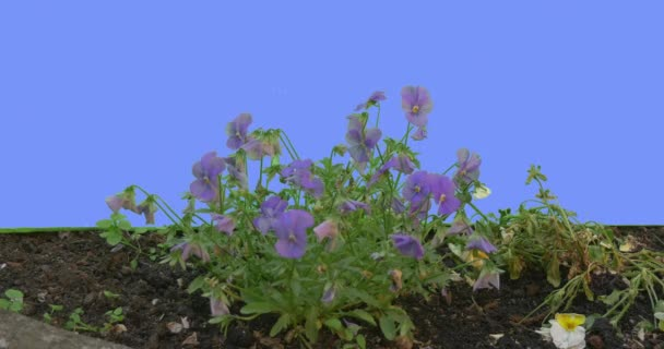 Violet Viola Tricolor on Flowerbed Green Leaves Grass on Blue Screen Plants Violets Are Swaying Fluttering at the Wind Sunny Summer or Spring Day