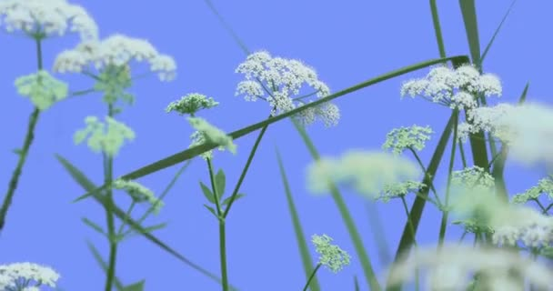 Apiaceae Field Flowers on Blue Screen Green Leaves Grass Plants on a Dry Stalks Are Swaying at the the Wind White Umbelliferae Sunny Summer or Spring Day