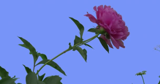 Jediného růžová Pivoňka květ hlava na modré obrazovce zelené listy trávy kvetoucí květiny pole květiny jsou kýval na slunné letní vítr nebo jarní den