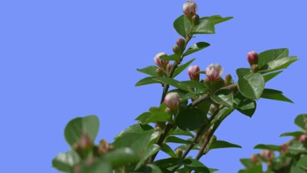 Branch flower buds on decorative shrub on blue screen green glossy branch flower buds on decorative shrub on blue screen green glossy leaves branch is swaying fluttering mightylinksfo