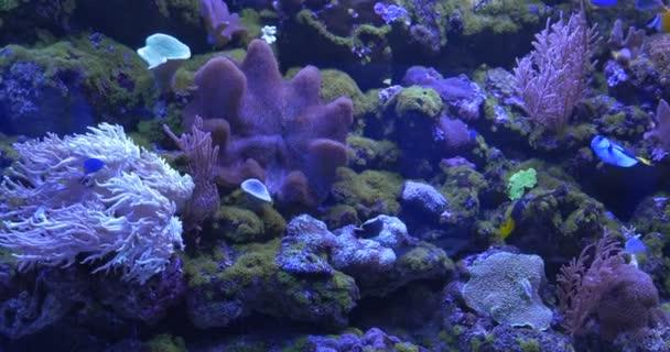 Zebrasoma Flavescens, Paracanthurus Hepatus Among Corals, Mushroom Coral, Sarcophyton, Sinularia, Paramuricea