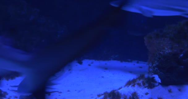 Gyapjú Blacktip zátony cápák, állatok, amelyek úszó körkörösen akvárium, víz alatti, közelkép, Sandy alsó