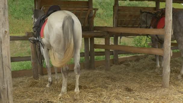 Dva koně stojí, krmí se stabilní, pomalý pohyb
