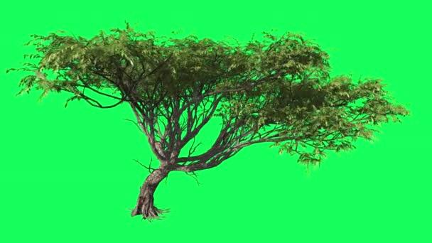 Acacia Chromakey Tree, Swaying Tree, Swaying Branches Chroma Key, Alfa, Green Background