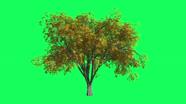 American Elm Chromakey, Tree, Swaying Tree, Swaying Branches, Chromakey, Chroma Key, Alfa, Green Background