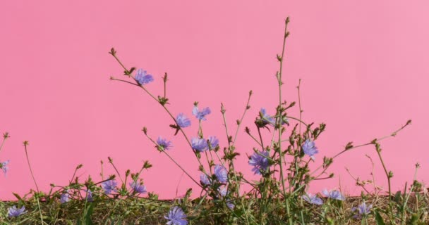 Cichorium Chromakey Blue Flowers Swaying Stalks And Leaves Grass Alfa Channel Croma Key Pink Screen