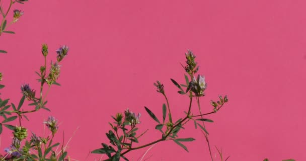 Branches of Field Plants Chromakey Swaying Branches Leaves Stalks Alfa Channel Pink Screen