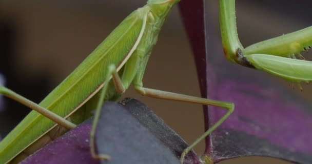 Mantis Religiosa Macro Legs Close Up Sitting on the Violet Leaf Blurred Background Praying Mantis European Mantis