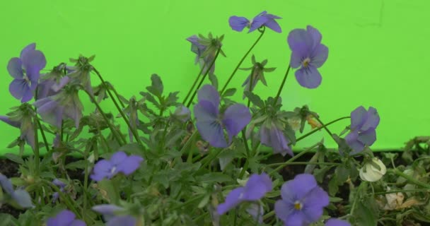 Blue Viola Tricolor Flowerbed, Green And Dry Stalks, Ground