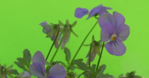 Few Viola Tricolor Blue Flowers, Faded Flowers, Closeup, Slow Motion