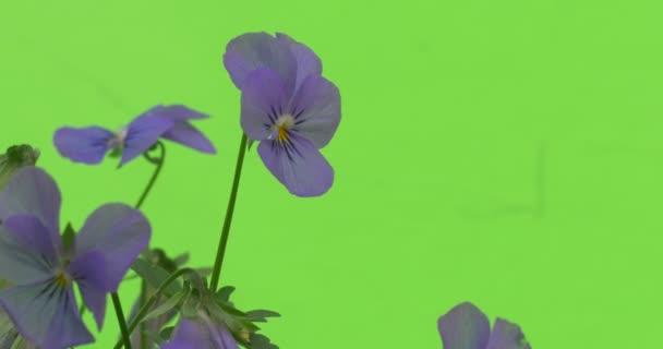 Few Viola Tricolor Blue Flowers Closeup