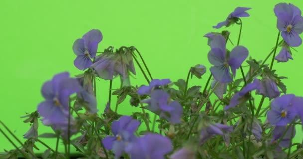 Třepetavé modré Violo Tricolor closeup
