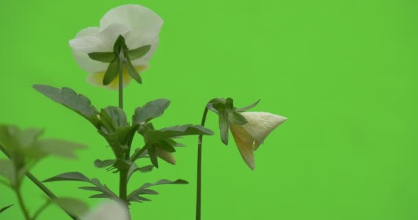White Viola Tricolor, Backside of Single Flower