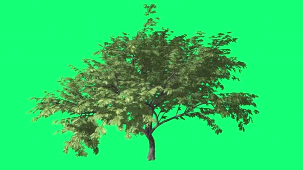 Hook tövis Cromakey Senegalia Caffra Chroma Key Alfa zöld háttér fa imbolygott a szél ágak levelek nap sugarai a szabadban Studio nyári tavasszal