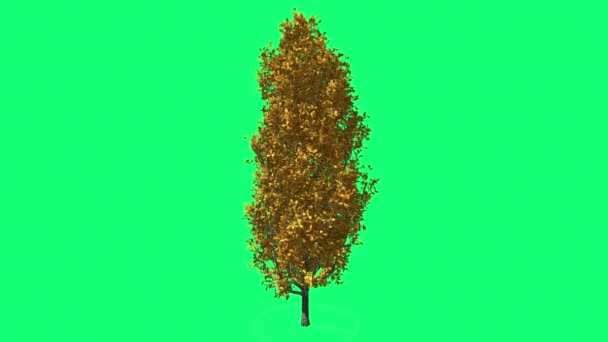 Cypress Oak Chromakey Green Tree Chroma Key Alfa Green Background Fall Autumn Yellow Leaves Swaying at the Wind Sun Rays Outdoors Studio