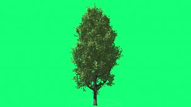Cypress Oak Chromakey Green Tree Chroma Key Alfa Green Background Swaying at the Wind Sun Rays Outdoors Studio Summer Spring