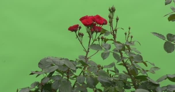Flores De Bush Rojo Flores Rosas Movimiento Rápido De Rosa Roja