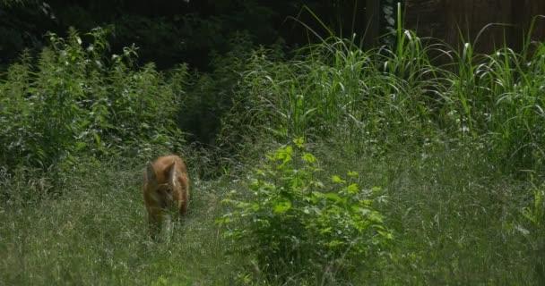Maned Wolf Through The Bushes, Grass, Chrysocyon Brachyurus