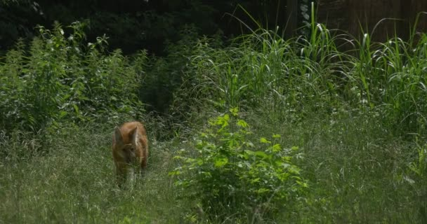 Maned Wolf Through The Bushes, Grass, Chrysocyon Brachyurus