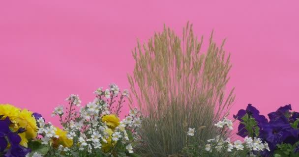 Záhonu s modrým Petunie, žluté květy, bílými květy, Chundelka, Windgrass