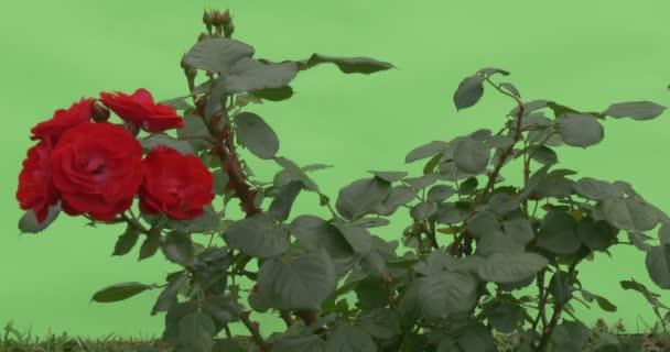Červená růže Bush, červené kytice, kvetoucí růže na větvi