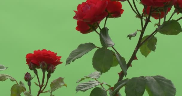 Red Rose Bush, Red Flowers on Branches, Thorns