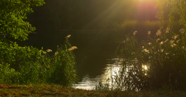 Pond Lake Sun is Low Overgrown Bank Green Reed Sun Rays Rippling Water Smooth Weather Green Branches Sun Reflection in the Water