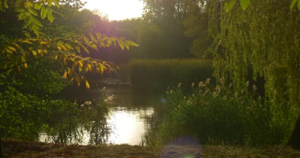 Forest Lake River Bank Trees on a Horizon White Sky Sun Shines Rippling Water Trees Reflection Willow Tree Branches Green Reed Summer Evening Outdoors