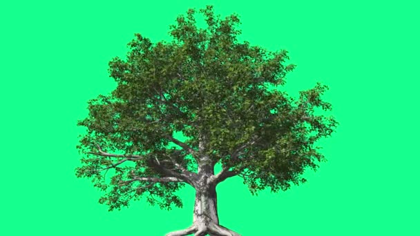 European Beech Chromakey Tree Chroma Key Alfa Alfa Channel Swaying Tree Wind Branches Leaves Root Studio Green Screen Computer Generated Animation
