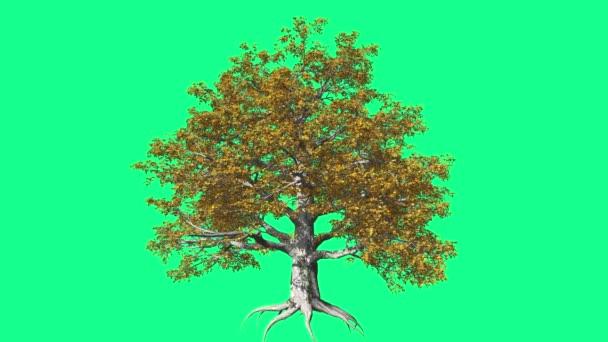 European Beech Chromakey Tree Chroma Key Alfa Alfa Channel Swaying Tree Wind Branches Leaves Studio Fall Green Screen Computer Generated Animation